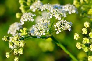 Flowers poisonous hemlock among green leaves in the garden
