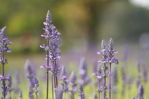 Lavenders flowers photo