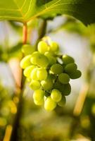 Brunch of grape photo