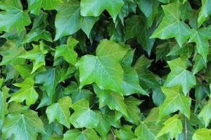Ivy that grows on the wall photo
