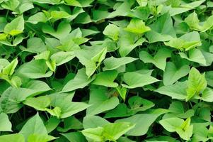 sweet potato leaves in growth