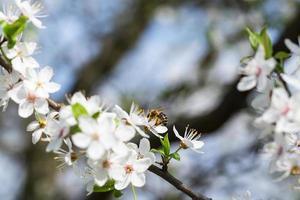 la abeja recoge el néctar de las flores de ciruela cereza.
