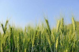 Barley photo