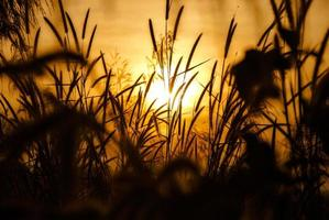 Silhouetted grass field at sunset photo