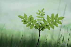 Plántula de árbol de serbal con hojas