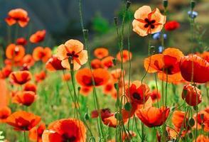 Poppy flowers. Shallow depth of field