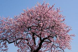 Almond Tree photo