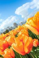 tulipanes en sol primaveral.