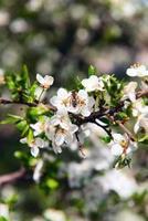 cereza y abeja