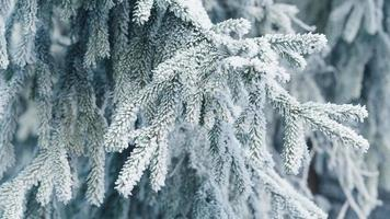 frosty fir twigs in winter covered with rime