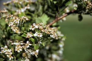espinheiro-alvar (crataegus monogyna)