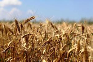 wheaten field photo
