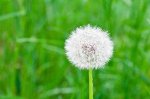 One dandelion