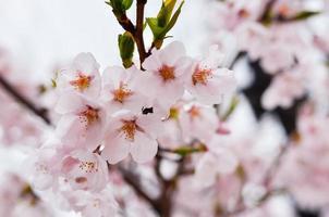 Beautifully blossoming cherry photo