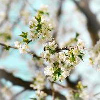 Cherry flowers photo