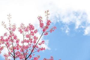 flor de primavera de cerezo salvaje del himalaya foto