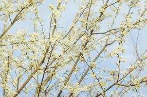 rama de un árbol floreciente con flores