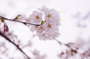 cereza hermosamente floreciente en corea del sur foto