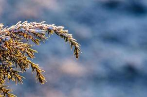 Frosty juniper