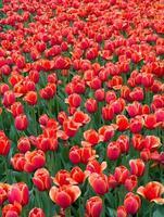 tulipanes rosas especiales en el jardín