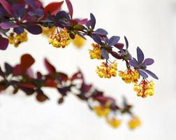 bush branch with flowers in spring photo