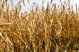 rye   for harvest