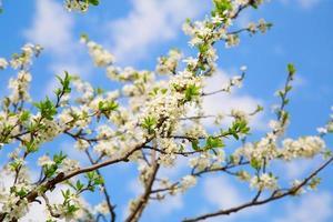 Flowering branch of the cherry garden photo