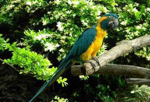 Blue and Gold Macaw photo