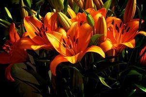 lirio anaranjado