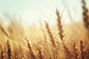Cerca de espigas doradas de trigo