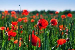 red poppy field photo