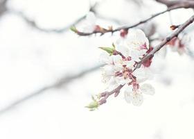 Apricot tree flowers. photo