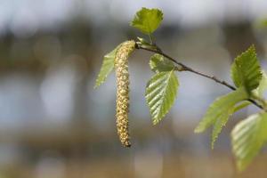 Abedul floreciente, primer plano con someras DOF