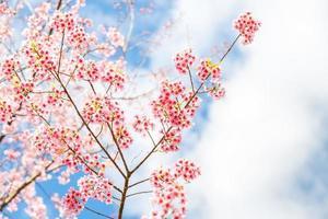Wild Himalayan Cherry tree spring blossom photo