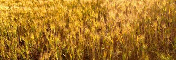 campo de trigo en abruzzo, italia foto