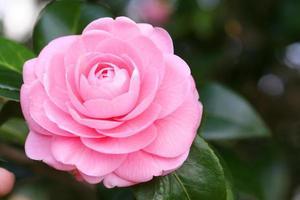 Japanese camellia photo
