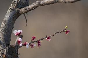 apricot blossom photo