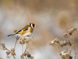 European Goldfinch on the burdock