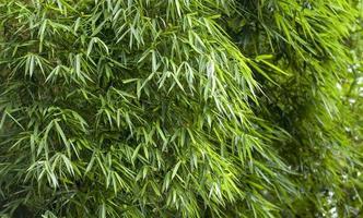 Fresh Bamboo leaves background