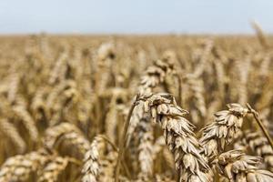 espigas de trigo. foto