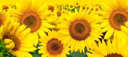 Field Sunflowers