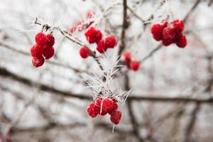 Rosehip branches covered with hoarfrost. photo