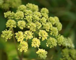 Apiaceae photo