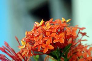 Orange flowers (Asoka, Saraca Asoca )