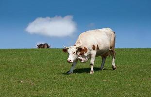 Farm animal photo