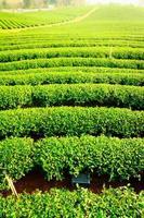 granja de té
