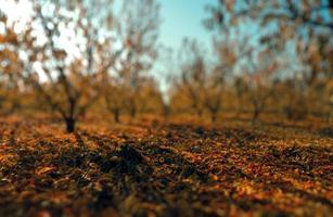 fazenda de cereja