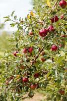 fazenda de maçã