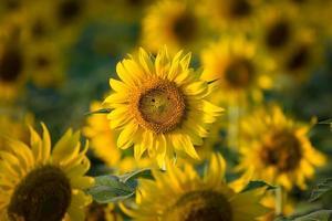granja de flores de sol