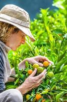 Farm tangerines